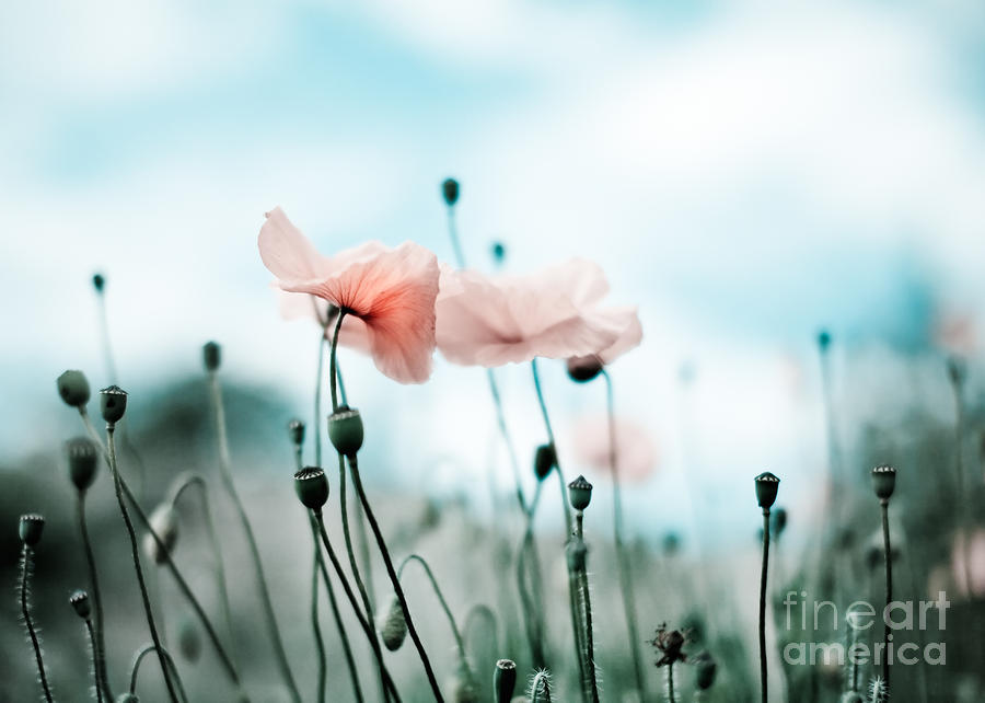 Poppy Flowers 02 Photograph