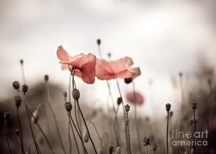 Poppy Photograph - Poppy Flowers 03 by Nailia Schwarz