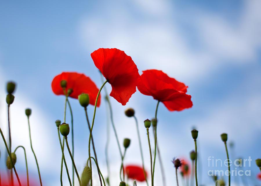 Poppy Flowers 08 Photograph