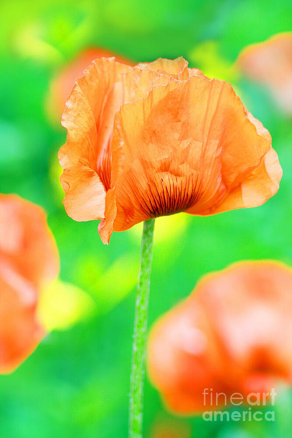 Colors Photograph - Poppy Flowers In May by Anita Antonia Nowack