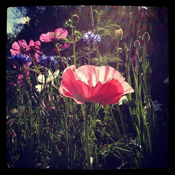 Poppy Photograph by Gracie Noodlestein