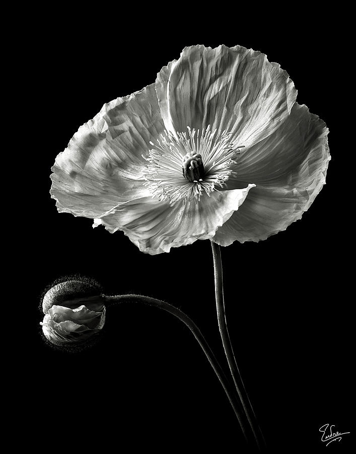 Poppy In Black And White Photograph By Endre Balogh