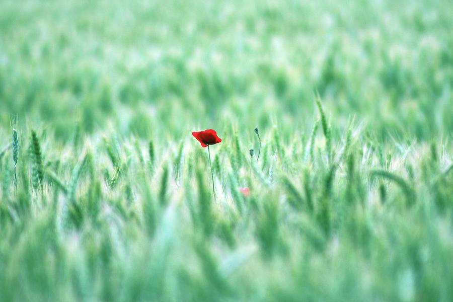 Horizontal Photograph - Poppy In Wheat Field by By Julie Mcinnes