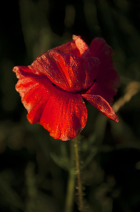 Red Photograph - Poppy by Svetlana Sewell