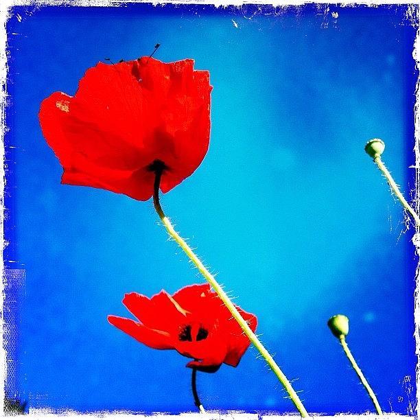 Poppys Photograph by Henk Goossens