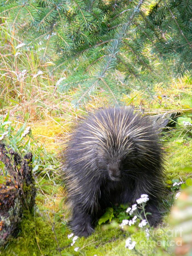 Porcupine Photograph - Porcupine by Derek Swift