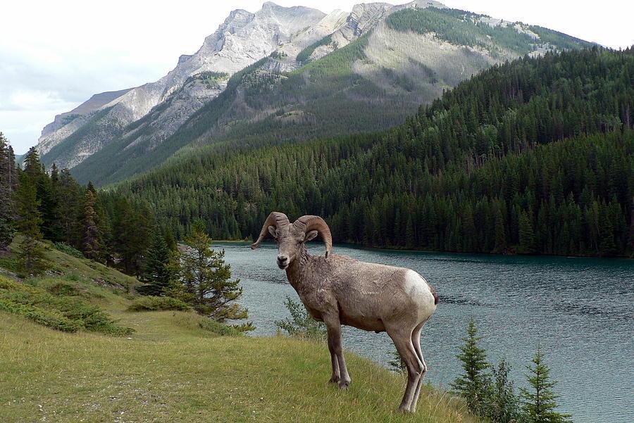 Portrait Photograph - Portrait of a BigHorn Sheep at Lake Minnewanka  by Laurel Best