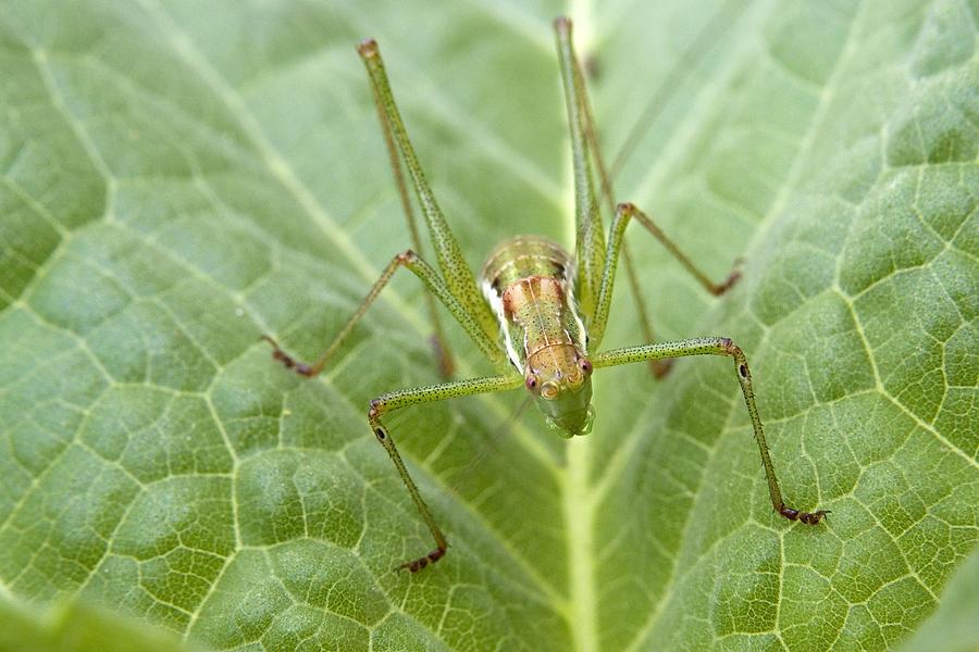 Bugs Photograph - Portrait Of A  Cricket  by Cliff Norton