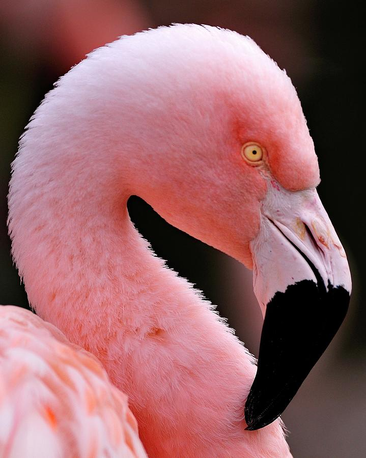 Portrait Of A Flamingo Photograph By Bill Dodsworth