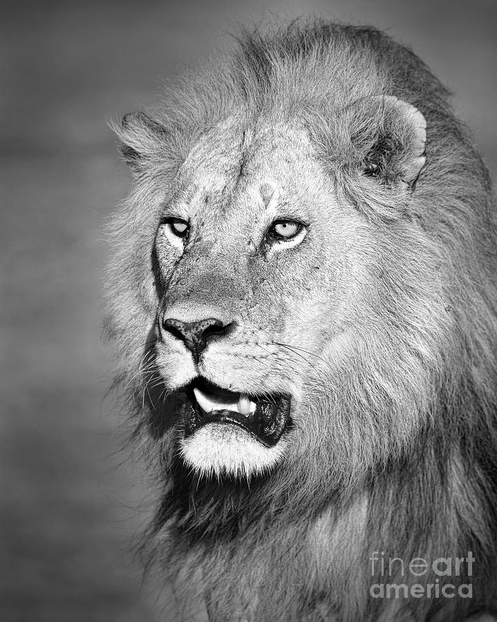Male Photograph - Portrait Of A Lion by Richard Garvey-Williams