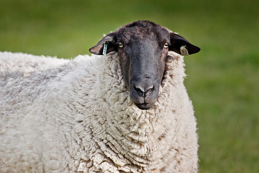 Sheep Photograph - Portrait Of A Sheep by Greg Nyquist
