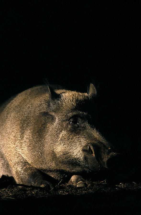 Animal Photograph - Portrait Of A Wild Boar by Ulrich Kunst And Bettina Scheidulin