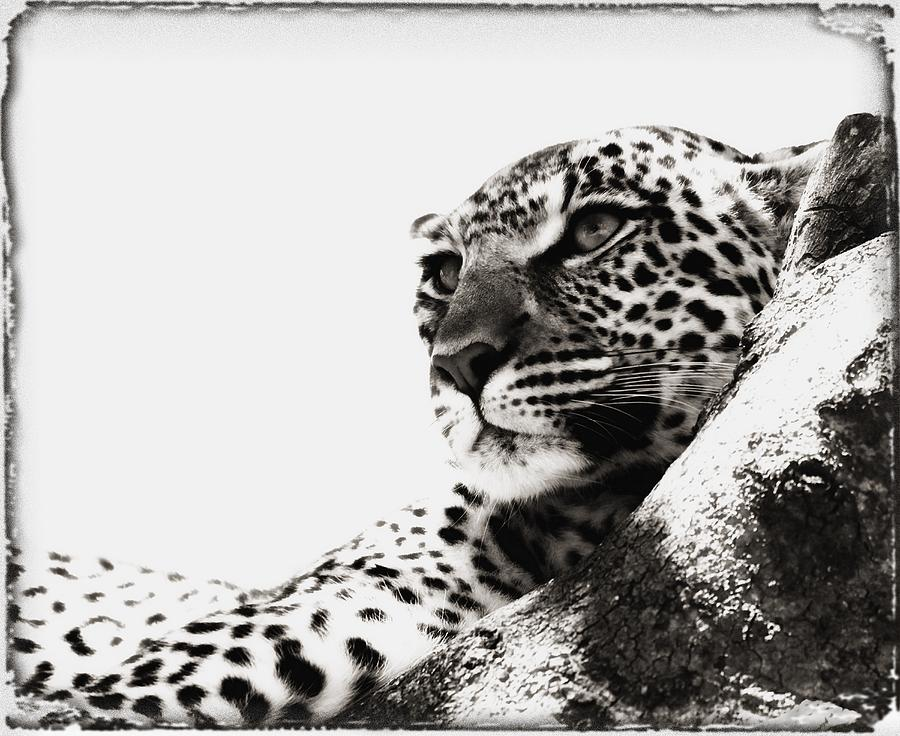 African Leopard Photograph - Portrait Of An African Leopard by Carson Ganci