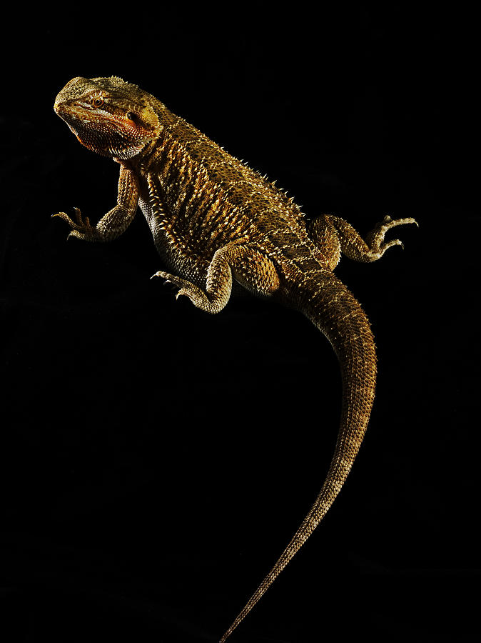 Portrait Of Bearded Dragon With Black Background Photograph by Chris Turner