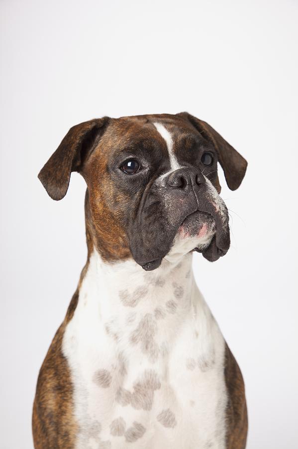 Boxer Photograph - Portrait Of Boxer Dog On White by LJM Photo