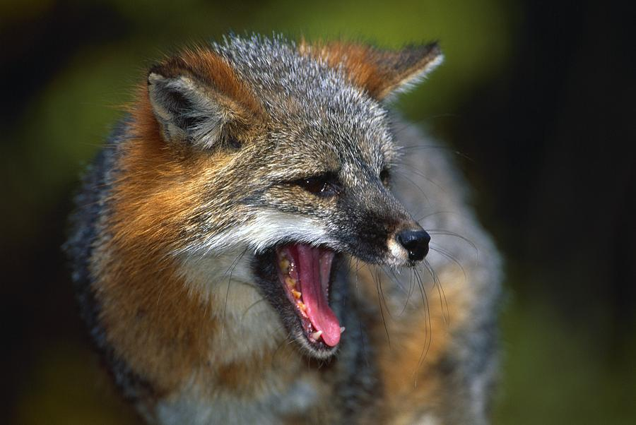 Portrait Of Gray Fox Barking Photograph By Natural