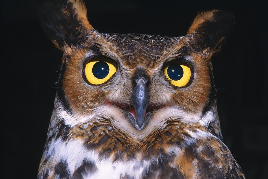 Outdoors Photograph - Portrait Of Great Horned Owl by Natural Selection David Spier