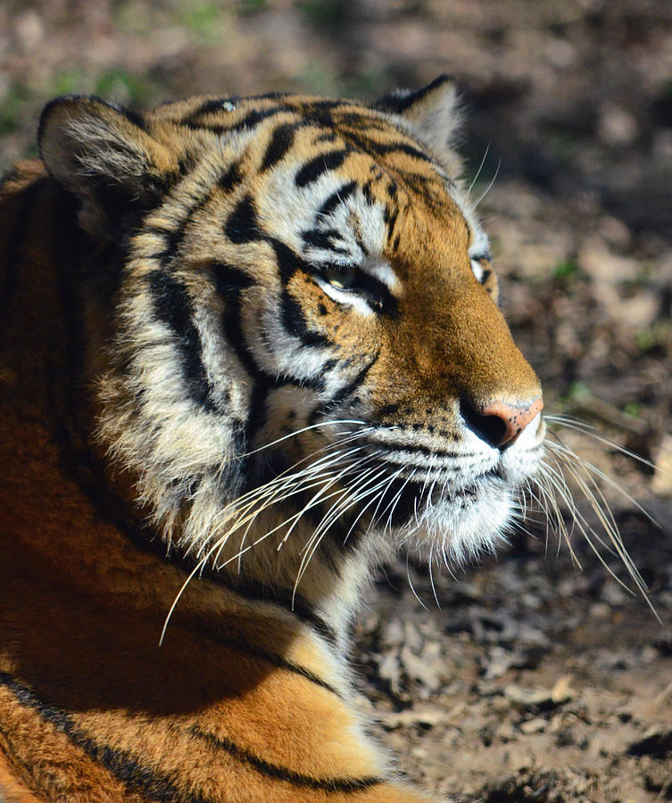 Tiger Photograph - Portrait Of Kisa by Sandi OReilly