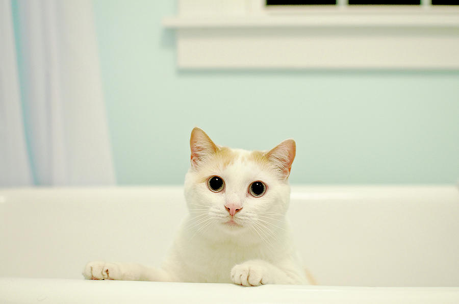 Horizontal Photograph - Portrait Of White Cat by Melissa Ross