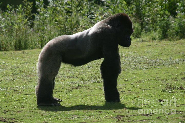 Gorilla Photograph - Posing Gorilla by Carol Wright