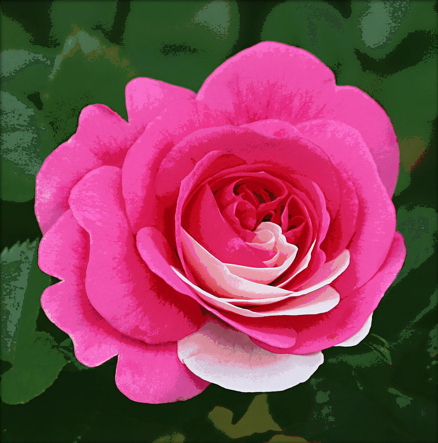 Rose Photograph - Poster Rose by Jim Speirs