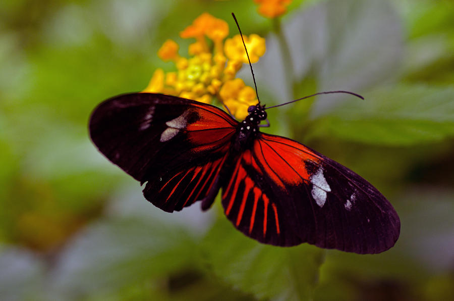 Postman Butterfly Photograph - Postman Butterfly by Cheryl Cencich