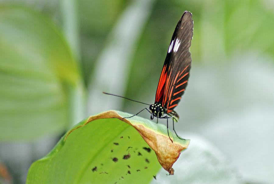 Insects Photograph - Postman Butterfly by Tony Murtagh