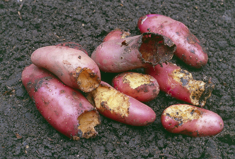 Cherie Photograph - Potatoes Eaten By Pests by Maxine Adcock