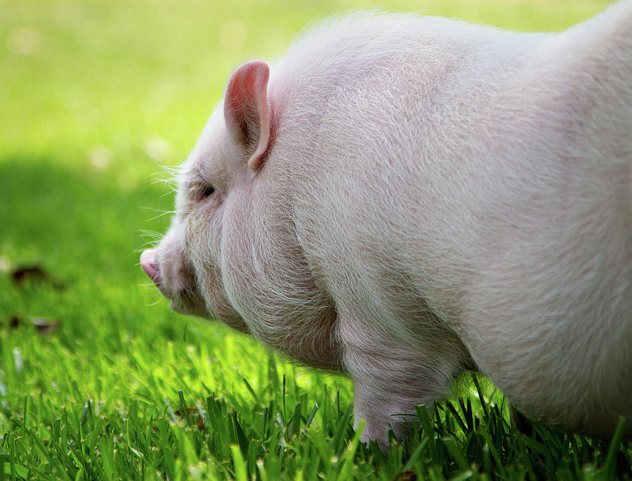 Horizontal Photograph - Potbelly Pig by Christopher Jenkins  c/o www.luckyshotphotos.com
