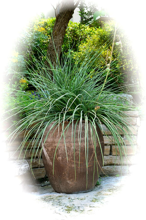 Potted grass plant photograph by kathy lewis for Large ornamental grass plants