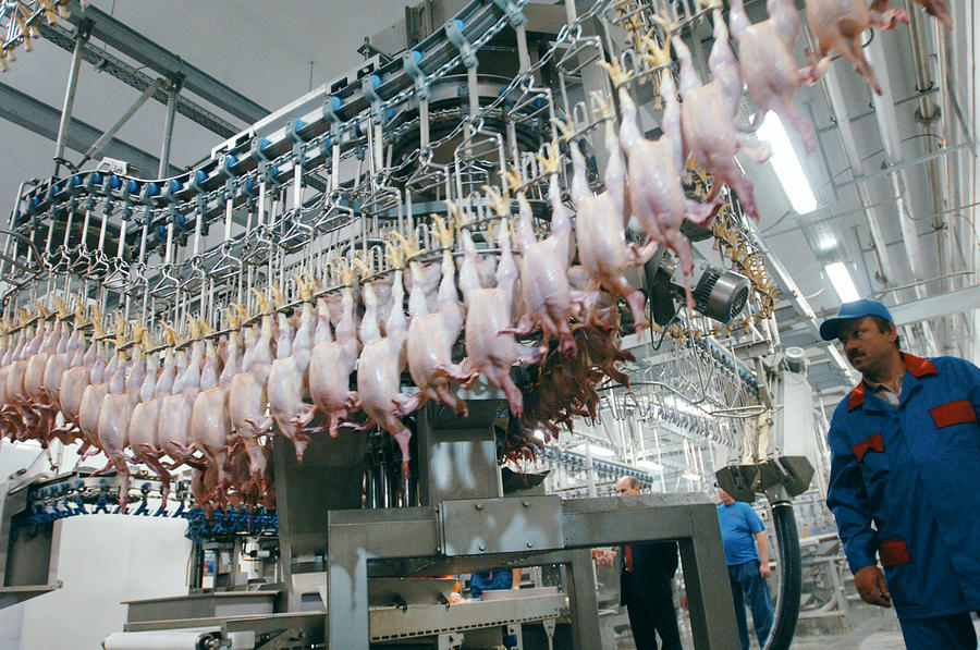 Equipment Photograph - Poultry Factory Production Line by Ria Novosti