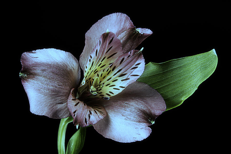 Flower Photograph - Pouvian Lilly On Black by M K  Miller