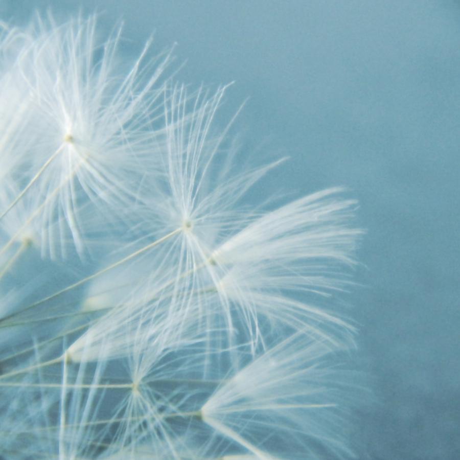 Dandelion Photograph - Powder Blue by Sharon Lisa Clarke