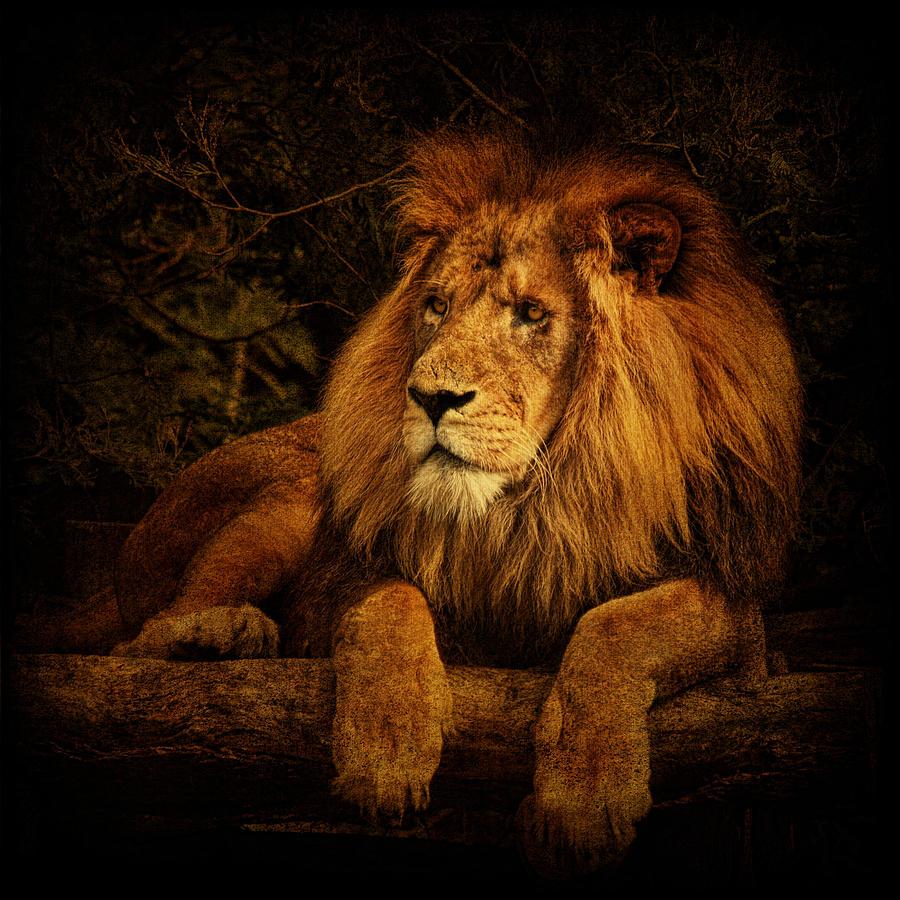 Lion Photograph - Pragmatism by Andrew Paranavitana