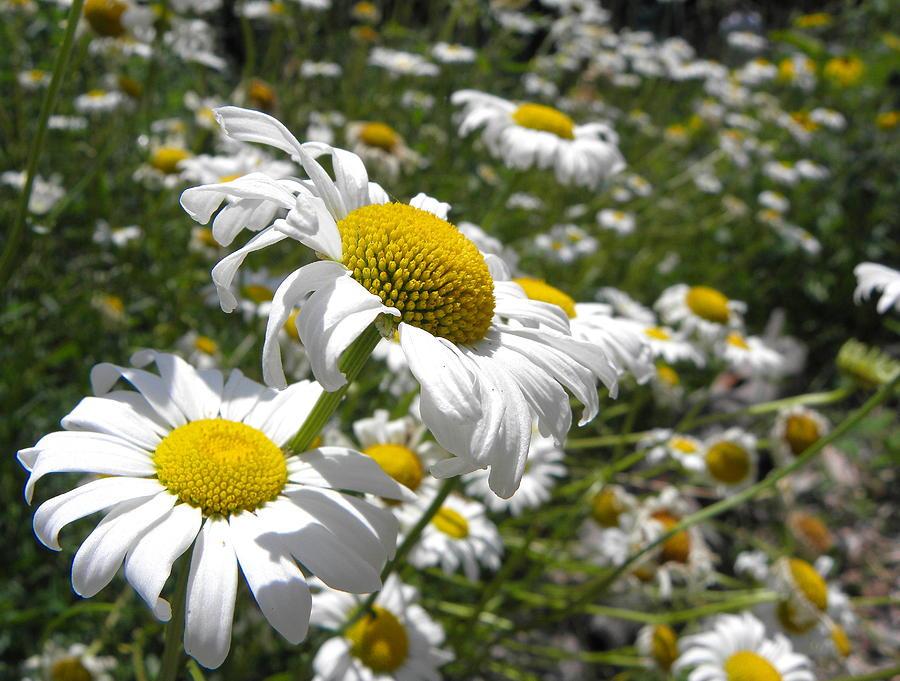 Flowers Photograph - Prairie Daisies 2 by Griffin Harris