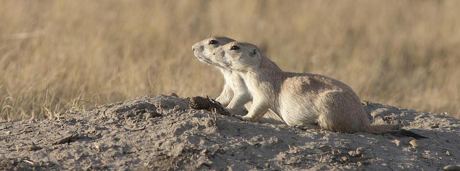 Prairie Dog Pair Grasslands NP Photograph by Matthias Breiter