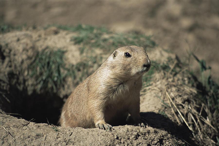 Cynomys Ludovicianus Photograph - Prairie Dog by David Aubrey