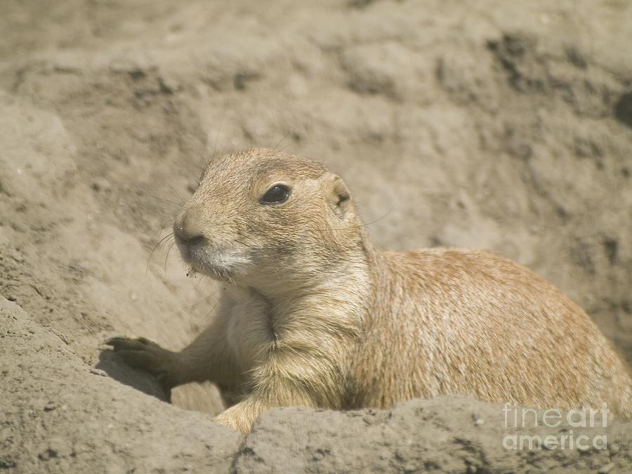 Animal Photograph - Prairie Dog by Odon Czintos