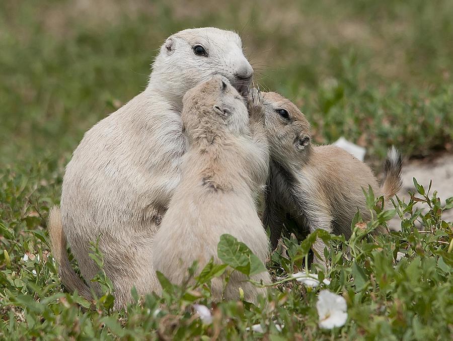 Prairie Dogs Photograph - Prairie Kiss by Wade Aiken