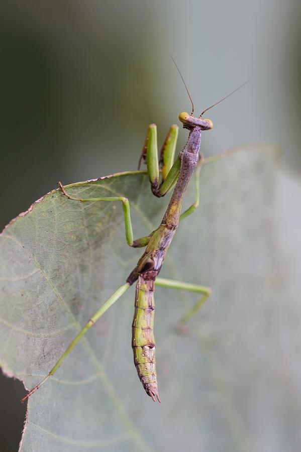 Praying Photograph - praying Mantis by Craig Lapsley