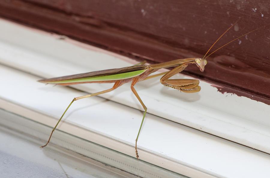 Bug Photograph - Praying Mantis by Shirley Tinkham