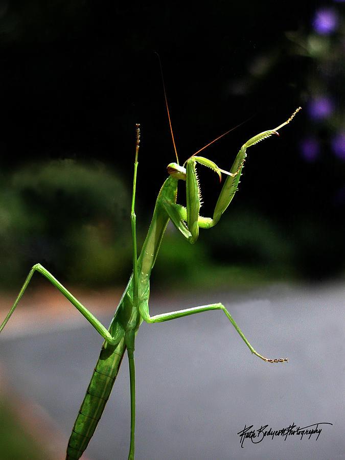 Nature Photograph - Praying Mantis Tae Kwon Do Ready by Ruth Bodycott