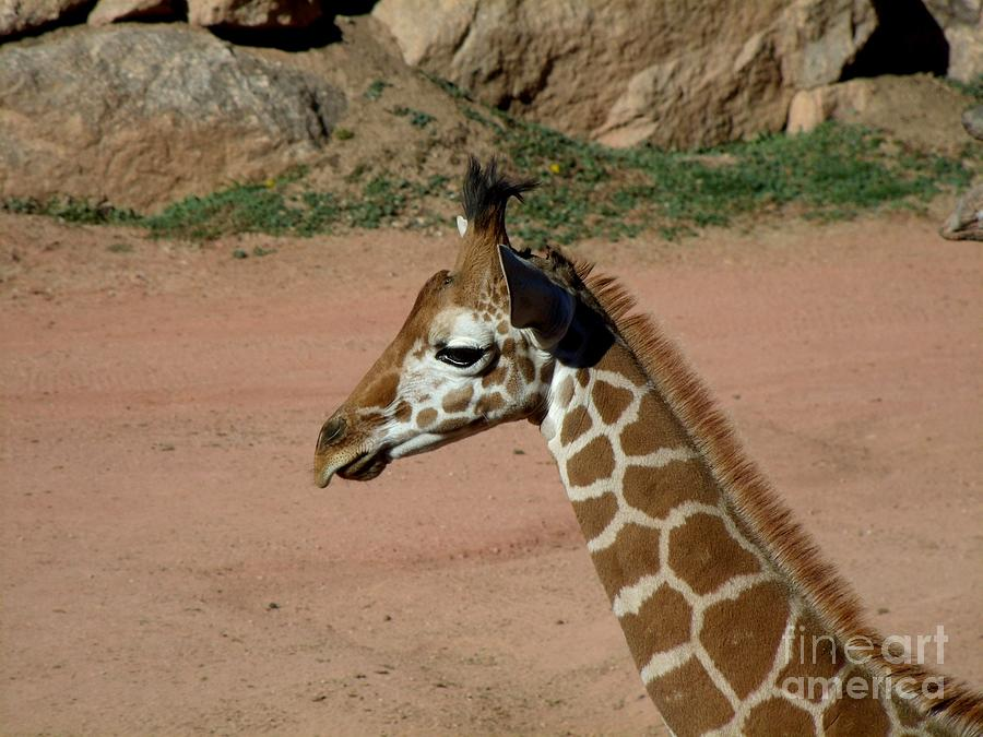 Reticulated Giraffe Photograph - Precious Baby Giraffe by Donna Parlow