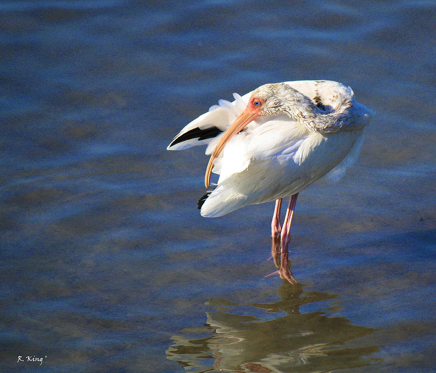 White Ibis Photograph - Preening The Evening Ritual  by Roena King