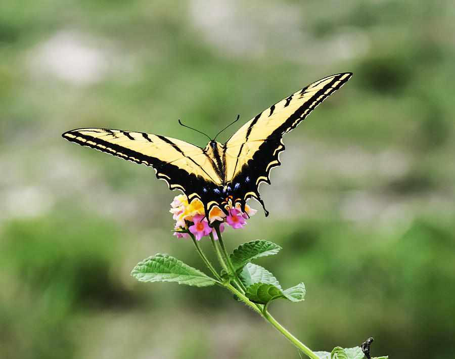 Lantana Photograph - Prepare For Take Off by Kelly Rader