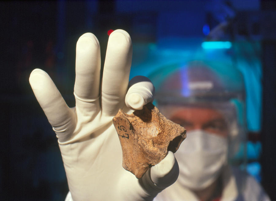 Neanderthal Man Photograph - Prepared Neanderthal Bones For Dna Extraction by Volker Steger