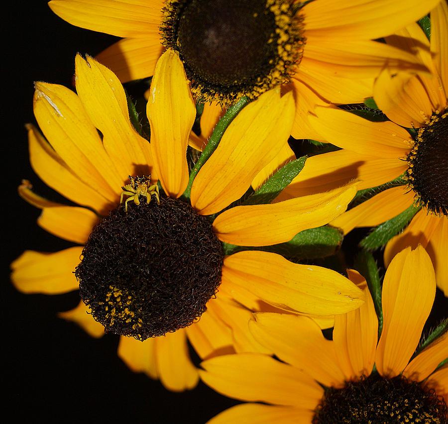 Black Eyed Susans Photograph - Pretend Im A Flower by Irma BACKELANT GALLERIES