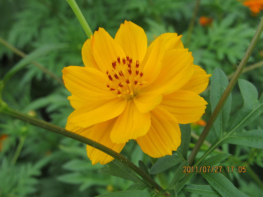 Flowers Photograph - Pretty And Lovely In Yellow by Tina M Wenger