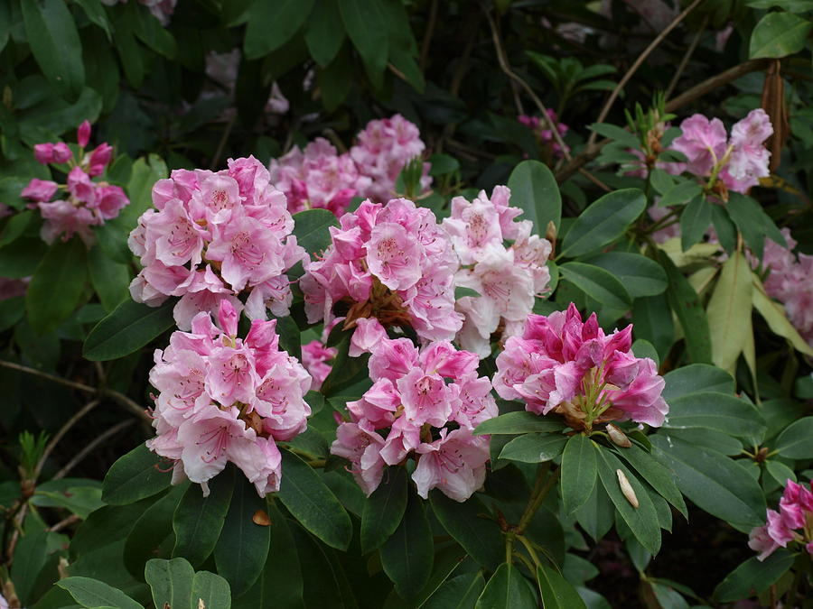 Flowers Photograph - Pretty In Pink by Larry Krussel