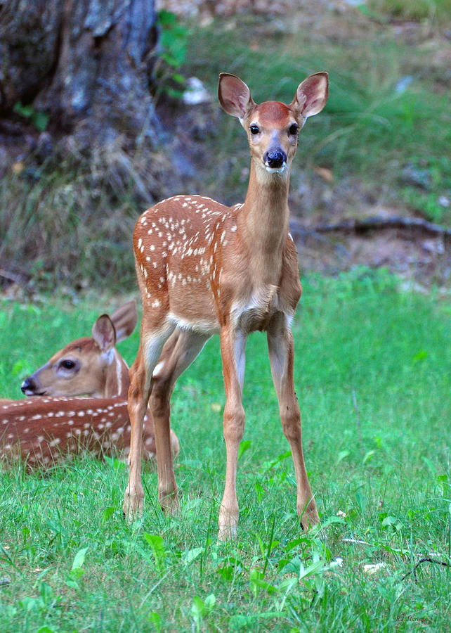 Deer Photograph - Pretty New by RJ Martens